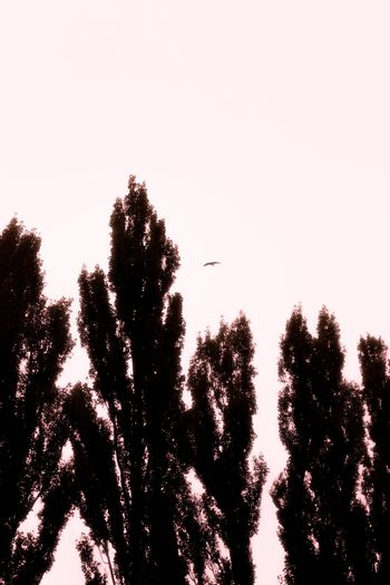 Autumn poplar trees silhouettes and a bird in the gray sky