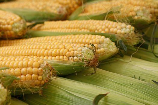 Fresh corncobs close up in retail