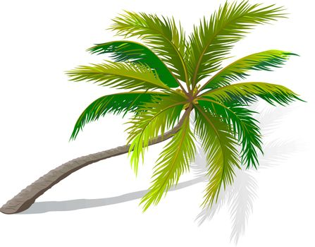 A palm tree on a white background. A palm tree with green leaves.