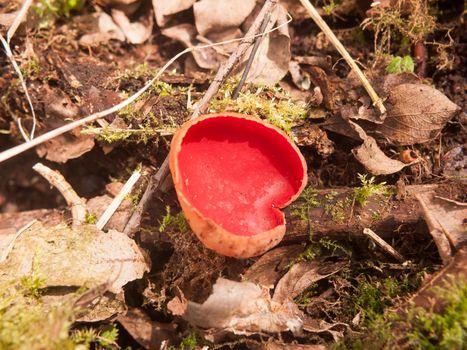 close up of scarlet elf cup mushrooms on moss fungi; essex; england; uk
