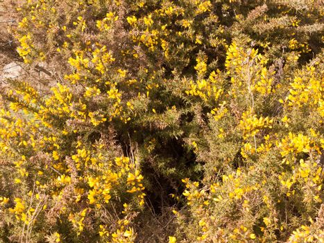 close up yellow gorse flowers broom texture spring bright beautiful; essex; england; uk