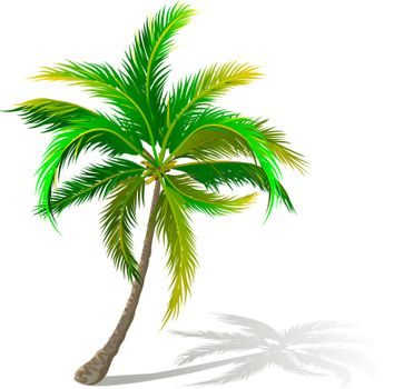 A palm tree on a white background. A palm tree with green leaves. A palm with large leaves.