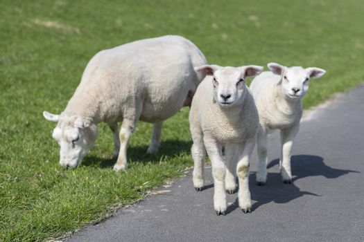 Sheep and two little lambs on an embankment slope of the island Ameland in the North of Netherlands