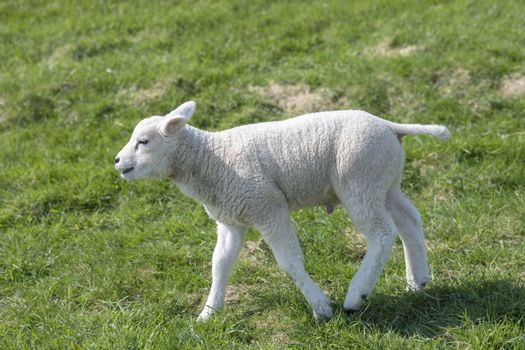 Little lamb on the grass of the slope of a seawall