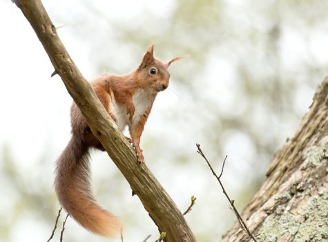 Red Squirrel Looking Down
