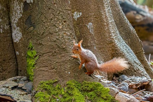 Red Squirrel on Base of Tree