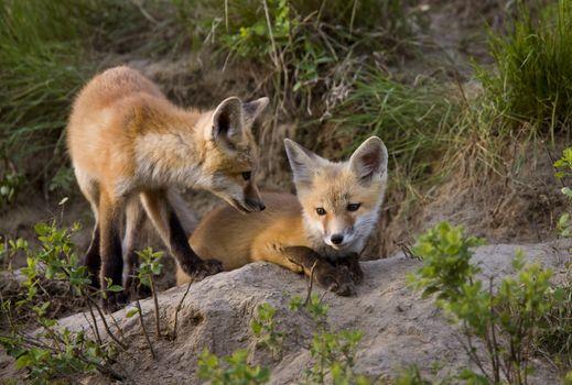 Fox Kits at Play