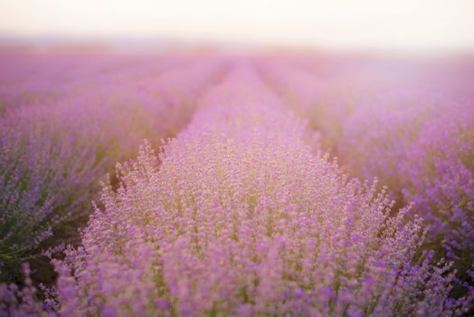 Close up of lavender. Lavender Fields. Rows Of Lavender Plants Blossoming. Vintage filter tinted, sun haze, glare
