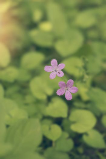 Close up of a purple wildflower growing in the forest, near the river. Vintage tintind, blurred background, sun haze, glare