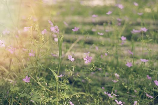 Blurred purple wildflowers growing in the forest, near the river. Vintage tintind, blurred background, sun haze, glare