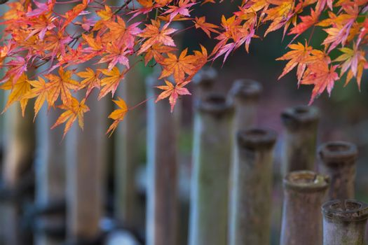 Autumn leaves and bamboo fence