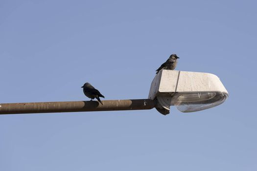 Pair of Western jackdaws on Street Light with a blue sky.