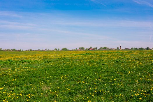 A field with yellow dandelions in the daylight, rural, countryside lanscape