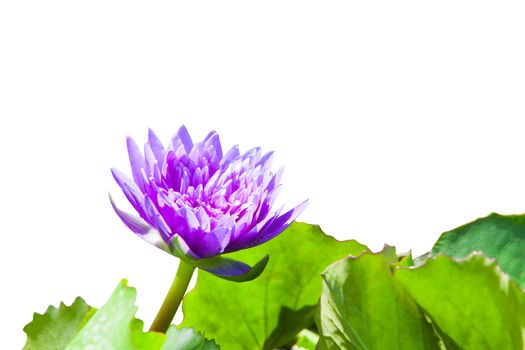 Lotus isolated on white background with clipping path.