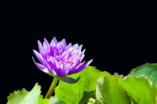 Pink lotus bud isolated on black background