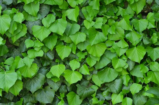 The background of green leaves, many bright medium-sized leaves
