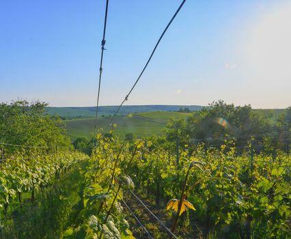 Wineyard at spring.  Sun flare. Vineyard landscape. Vineyard rows at South Moravia.