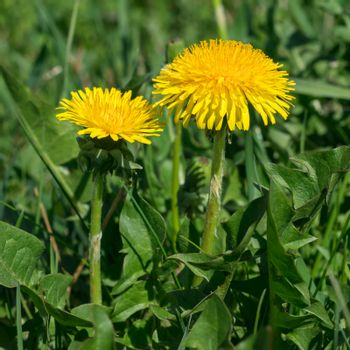 Yellow Dandelions on the field in the daylight