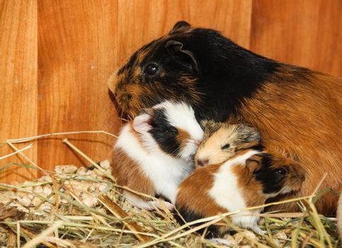 Guinea pig with small piglets