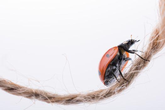 Beautiful photo of red ladybug walking on thread