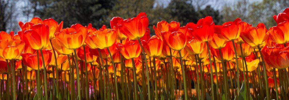 Tulip Flowers Blooming in Spring Season