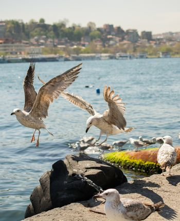 Seagulls is found on the shore of the sea
