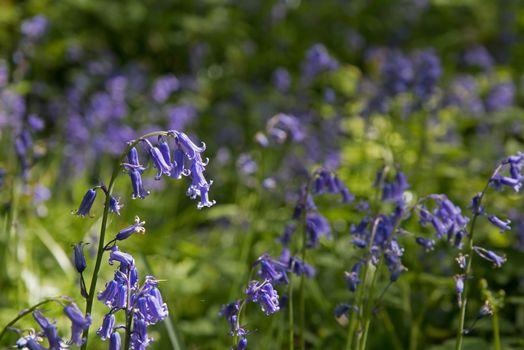 Bluebells in English Woodland