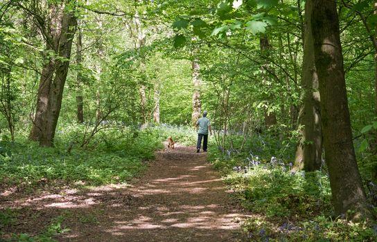 Dog Walker in English Bluebell Woodland