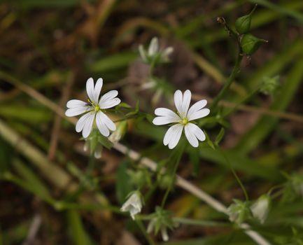 Greater Stitchwort Wild Flower