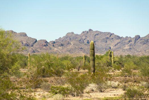 Saguaro cacti in desert of Arizona