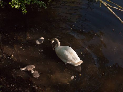 white mute swan with three grey cygnets down below water surface spring; essex; england; uk