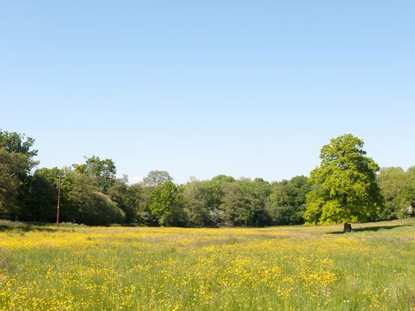open spring field day lush sky blue green grass background yellow flowers trees; essex; england; uk