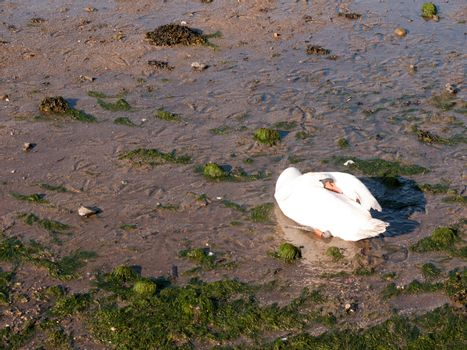 one white mute swan on beach with neck resting on back sunlight beautiful; essex; england; uk