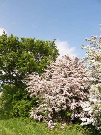 beautiful spring tree with pink white blossom full nature special; essex; england; uk