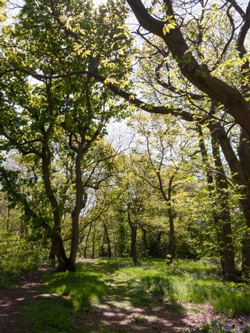 spring woodland grove canopy green trees new fresh growth background; essex; england; uk