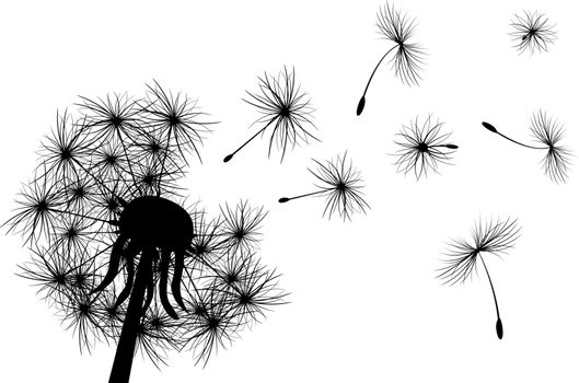 Dandelion, plant. Silhouette of dandelion on white background.