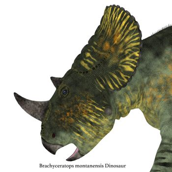 Brachyceratops is a herbivorous Ceratopsian dinosaur that lived in Alberta, Canada and Montana, USA in the Cretaceous Period.