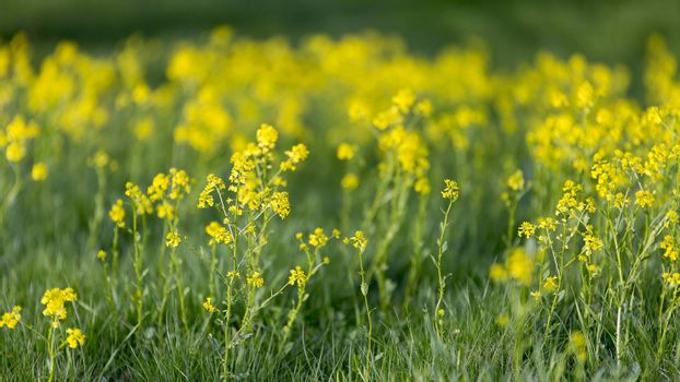 Yellow Flowers in Green Grass close up.