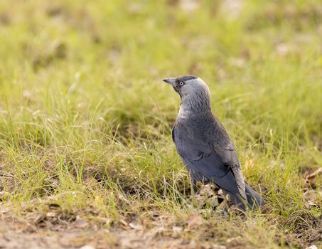 Western Jackdaw in grass close up.
