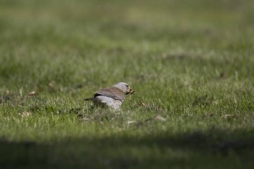 Fieldfare Bird with Caterpillar in green grass.