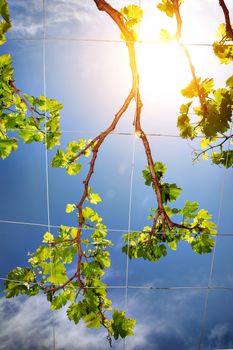 Beautiful fresh grape vine