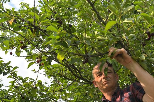 Man picking sour cherries in sour cherry tree. Mature man gathering sour cherries. Middle aged man, gardener in summer.