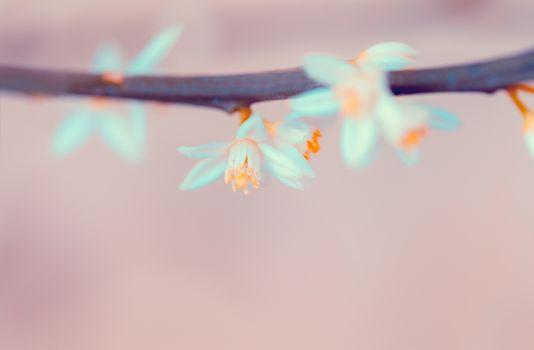 Mandarin blooming twig