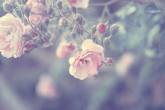 Pastel rose border