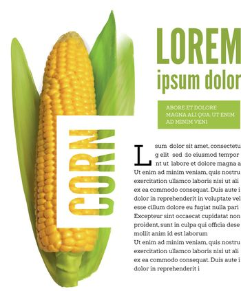 Realistic corn ear isolated on white with text block. Vector illustration
