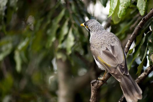 The noisy miner bird by itself during the day