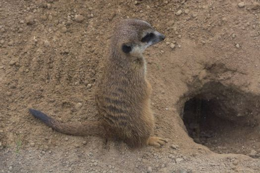 Meerkat, Cape Ground Squirrel or Gopher named is a desert mammal. Wild little rodent.