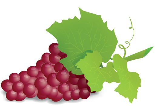 Grape branch with red grapes on white background. Vector illustration on white