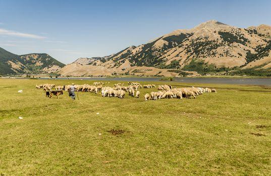 farm sheep lambs surrounded by beautiful Italian landscape
