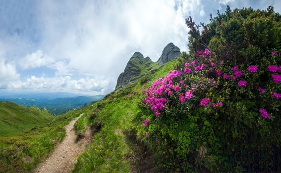 Panoramic view of Mount Ciucas on summer with wild rhododendron flowers, part of the Carpathian Range from Romania